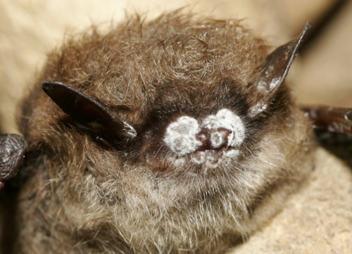 bats-with-white-nosed-syndrome