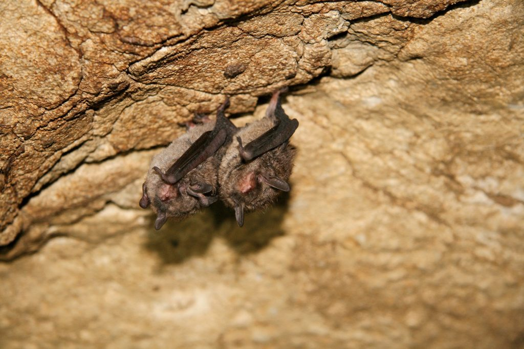 A pair of Indiana myotis hibernate inside Wind Cave.