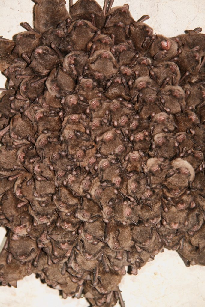 A cluster of Indiana myotis roosts inside Wind Cave, Wayne County, KY.
