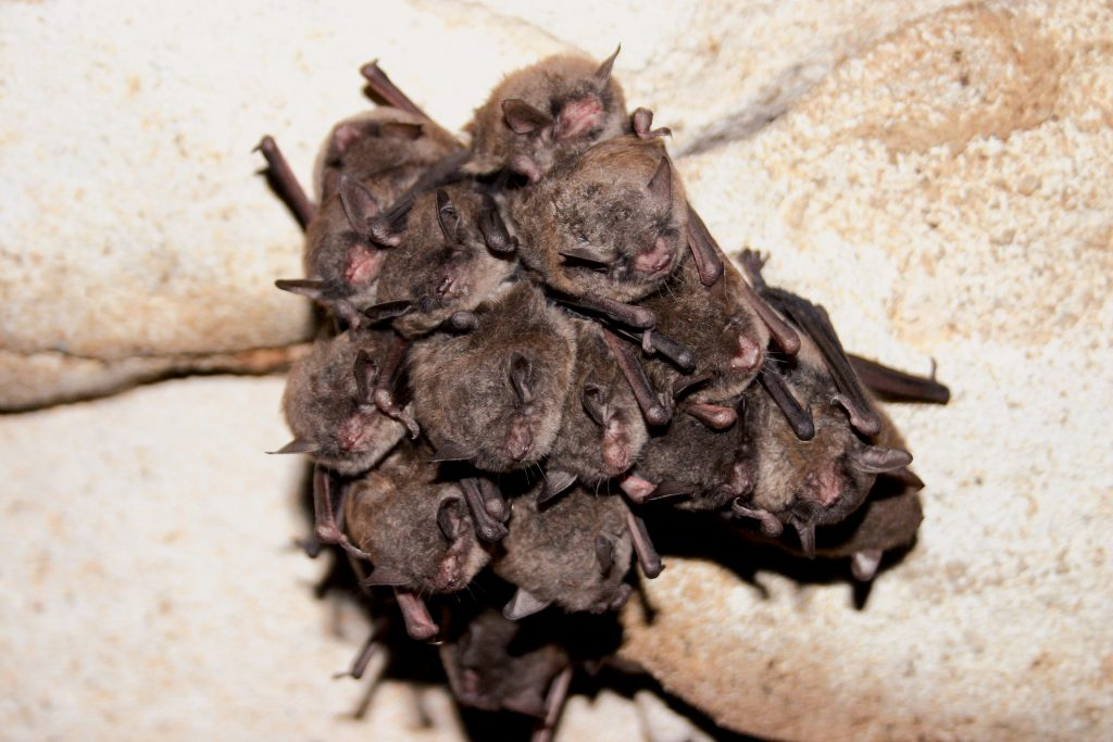 A cluster of Indiana myotis hibernates with classic roost stains evident in Barefoot Pit in Pulaski, KY