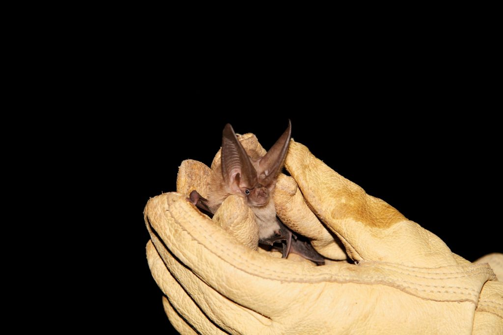 A Townsend's big-eared bat is captured from Fern Cave in Val Verde County, TX.