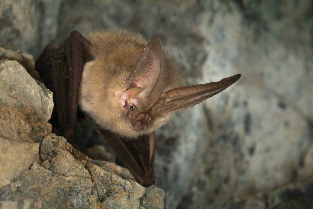 Townsend's Big-eared Bat (Corynorhinus townsendii) roosting in Gold Stake Mine, Coleville National Forest, Washington