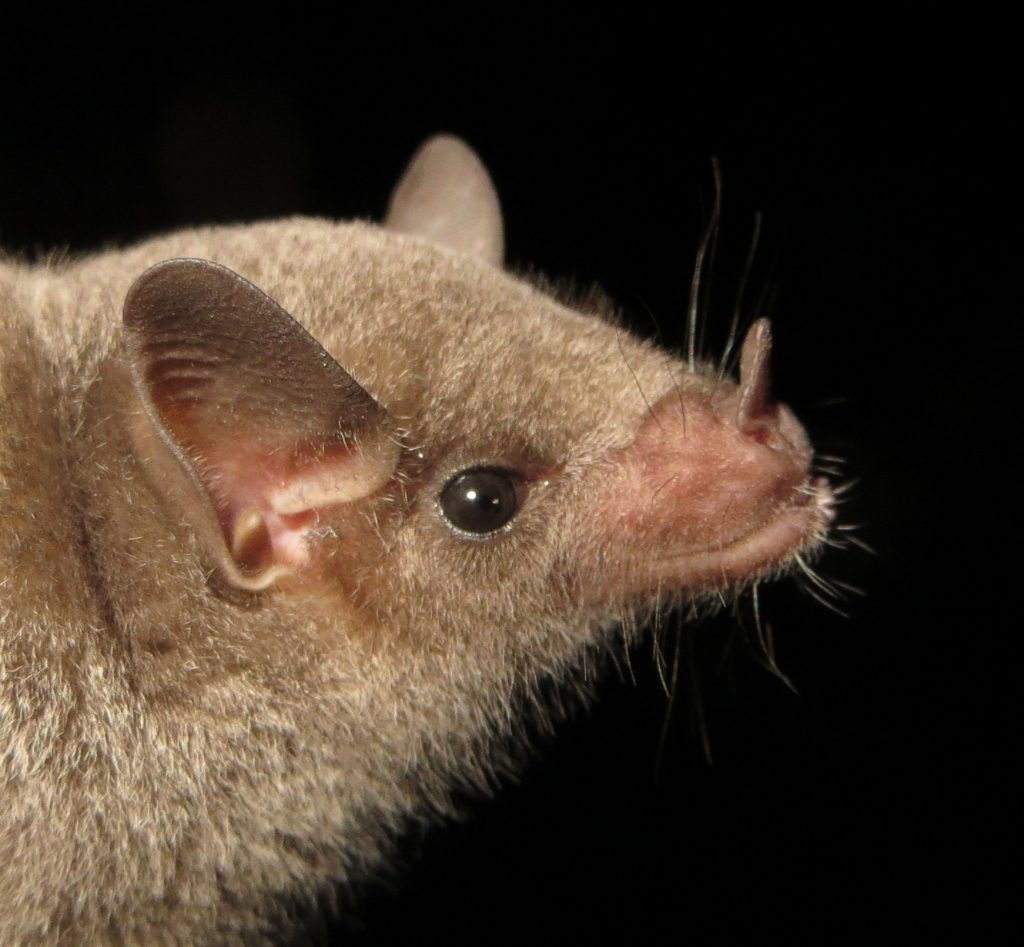 Binational Conservation of an Endangered Pollinator: Research, Protection, and Recovery for the Mexican Long-nosed Bat. Roxanne D. Pourshoushtari and Loren K. Ammerman, Angelo State University, San Angelo, Texas 76909