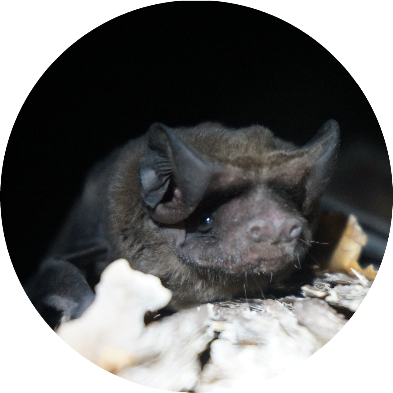 Micaela Jemsion / Bat Conservation International